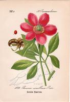 Vad bazsarózsa litográfia 1882, eredeti, kis méret, színes nyomat, növény, virág, Paeonia corallina