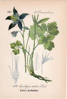 Aquilegia atrata, litográfia 1882, eredeti, kis méret, színes nyomat, növény, virág, harangláb