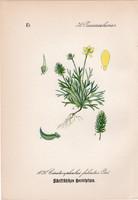 Ceratocephala, litográfia 1882, eredeti, kis méret, színes nyomat, növény, virág, Ceratocephalus fal