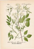 Clematis flammula, litográfia 1882, eredeti, kis méret, színes nyomat, növény, virág, iszalag
