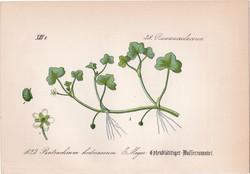 Batrachium hederaceum, litográfia 1882, eredeti, kis méret, színes nyomat, növény, virág, boglárka