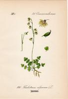 Thalictrum alpinum, litográfia 1882, eredeti, kis méret, színes nyomat, növény, virág, borkóró