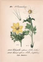Pulsatilla alpina, litográfia 1882, eredeti, kis méret, színes nyomat, növény, virág, kökörcsin