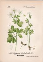 Erdei galambvirág, litográfia 1882, eredeti, kis méret, színes nyomat, növény, virág, Isopyrum thal.
