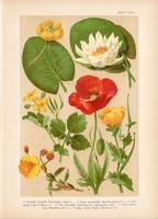 Magyar növények 34, litográfia 1903, színes nyomat, virág, fecskefű, pipacs, tündérrózsa (3)