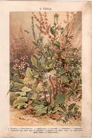 Növények (2), litográfia 1904, színes nyomat, magyar, természetrajz, növény, repcsény, libapimpó