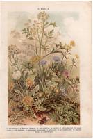 Növények (9), litográfia 1904, színes nyomat, magyar, természetrajz, növény, cickóró, gyermekláncfű