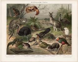 Ausztrál állatvilág (2), litográfia 1894, német nyelvű, eredeti színes nyomat, Ausztrália, kenguru