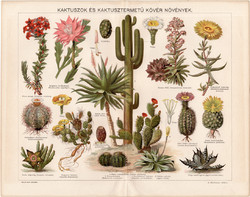Kaktuszok és kaktusztermetű kövér növények, színes nyomat 1896, növény, virág, agáve, kaktusz, régi