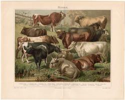 Szarvasmarhák (2), litográfia 1896, német, eredeti, színes nyomat, háziállat, szarvasmarha, bivaly