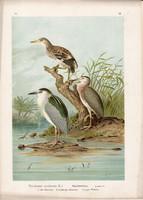 Bakcsó (4), litográfia 1897, eredeti, 29 x 39, nagy méret, madár, nyomat, vakvarjú, Nycticorax Nyc.