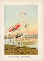 Rózsás flamingó (3), litográfia 1897, eredeti, 29 x 39, nagy méret, madár, nyomat, Phoenicopterus
