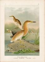 Üstökösgém (4), litográfia 1897, eredeti, 29 x 39, nagy méret, madár, nyomat, gém, Ardeola ralloides
