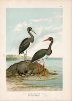 Fekete gólya (3), litográfia 1897, eredeti, 29 x 39 cm, nagy méret, madár, nyomat, Ciconia nigra