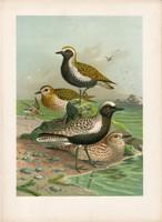 Aranylile, ezüstlile (3), litográfia 1897, eredeti, 29 x 39, nagy méret, madár, nyomat, ujjaslile