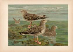 Heringsirály (2), litográfia 1897, eredeti, 28 x 40 cm, nagy méret, madár, Európa, nyomat, sirály