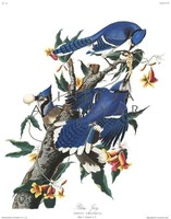 Kék szajkók faágon, tojás, madaras nyomat, J. J. Audubon Amerika madarai 1826-38 vintage reprint