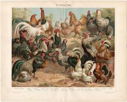 Tyúkfajták, litográfia 1898 (12), színes nyomat, eredeti, magyar, tyúk, kakas, törpetyúk, brabanti
