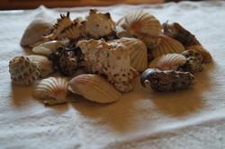 Kagyló és csiga gyűjtemény
