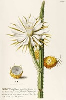Kaktusz 2 fehér sárga virág bimbó termés gyümölcs tüske G.Ehret Antik botanikai illusztráció reprint