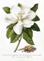 Magnólia fehér virág hajtás zöld levelek dísznövény G.Ehret Antik botanikai illusztráció reprint