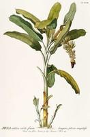 Banán cserje fa dísznövény egzotikus trópusi zöld levél G.Ehret Antik botanikai illusztráció reprint