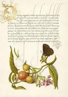 Aranyozott iniciálé kalligráfia botanikai illusztráció pillangó lepke 16. sz-i antik kézirat reprint