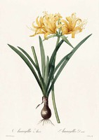 Liliomfélék sárga virágú amarillisz egzotikus szobanövény P.J. Redouté 1810 REPRODUKCIÓ nyomat