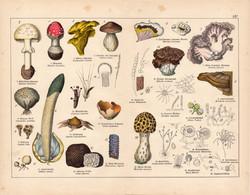 Gomba, szarvasgomba, vargánya, gyilkos galóca, litográfia 1887, eredeti, növény, virág, nyomat