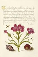 Antik grafika török szegfű csigaház kagyló pók rovar rajz botanikai illusztráció reprint nyomat
