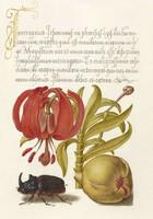 Antik grafika liliom gyümölcs orrszarvú bogár piros virág rajz botanikai illusztráció reprint nyomat