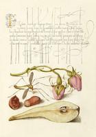 Mira Calligraphiae Monumenta kézirat díszes szöveg reprint rózsabimbó lószúnyog mogyoró körte rajz