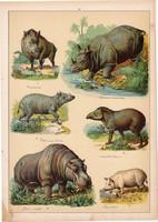 Vaddisznó, sertés, disznó, víziló, orrszarvú, tapír, litográfia 1899, eredeti, 24x34 cm, nagy méret