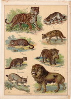 Ragadozók, oroszlán, tigris, macska, párduc, gepárd, litográfia 1899, eredeti, 24x34 cm, nagy méret