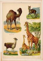 Zsiráf, teve, dromedár, láma, litográfia 1899, eredeti, 24 x 34 cm, nagy méret, állat, Afrika, dél
