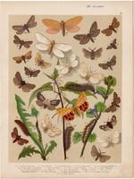 Magyarország lepkéi (24), litográfia 1907, nyomat, lepke, pillangó, hernyó, Arctia Purpurata, Humuli