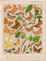 Magyarország lepkéi (45), litográfia 1907, nyomat, lepke, pillangó, hernyó, Ennomos Querinaria