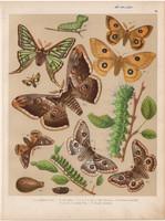 Magyarország lepkéi (29), litográfia 1907, nyomat, lepke, pillangó, hernyó, Saturnia Pyri, Pavonia