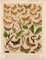 Magyarország lepkéi (46), litográfia 1907, nyomat, lepke, pillangó, hernyó, Epione Apiciaria