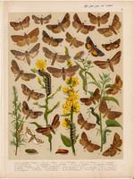 Magyarország lepkéi (40), litográfia 1907, nyomat, lepke, pillangó, hernyó, Cucullia Verbasci