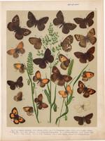 Magyarország lepkéi (15), litográfia 1907, színes nyomat, lepke, pillangó, hernyó Satyrus Statilinus