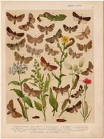 Magyarország lepkéi (35), litográfia 1907, nyomat, lepke, pillangó, hernyó, Mamestra Thalassina