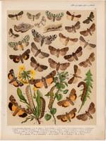 Magyarország lepkéi (33), litográfia 1907, nyomat, lepke, pillangó, hernyó, Bryophila Raptricula