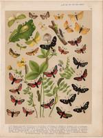 Magyarország lepkéi (21), litográfia 1907, nyomat, lepke, pillangó, hernyó, Zygaena Purpuralis