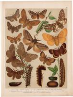 Magyarország lepkéi (28), litográfia 1907, nyomat, lepke, pillangó, hernyó, Bombyx Quercus