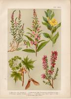 Magyar növények (24), litográfia 1903, színes nyomat, virág, ligetszépe, juhar, fűzike, csarap