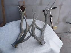 Hatalmas szarvas agancs pár