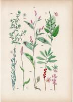 Keserűfű, réti lórom, kőtörőfű, farkasboroszlán, porcsinkeserűfű, litográfia 1884, növény, virág