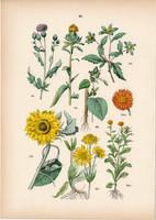 Hegyi árnika, farkasfog, napraforgó, körömvirág, bojtorján, szeklice litográfia 1884, növény, virág