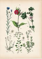 Erdei csillaghúr, házi len, erdei mályva, alpesi madárhúr litográfia 1884, német, növény, virág